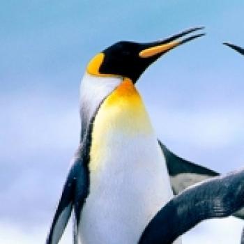Pingu Balina Avcısı