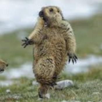 Marmot Ni